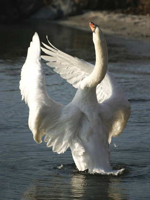 Signification Reves cygne