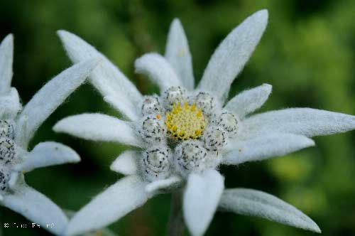 Signification Reves edelweiss
