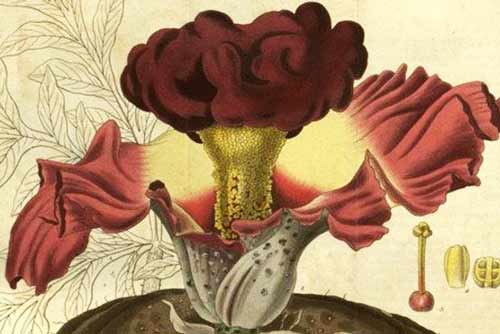Signification Reves petale Amorphophallus